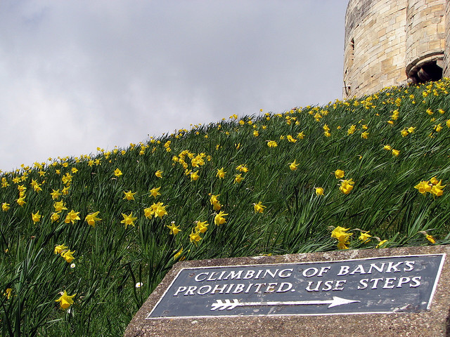Clifford's Tower daffodils © Glen Bowman