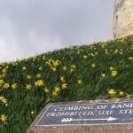 Clifford's Tower daffodils © Glen Bowman